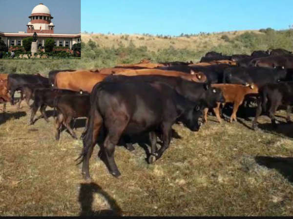 States are responsible for curbing cow vigilantism: Supreme Court