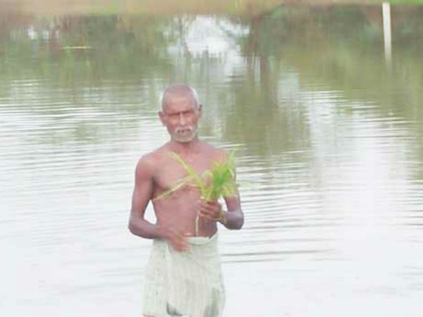 Paddy fields are under rain water in Trichy