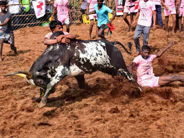 Trichy District Administration Permission to Conduct Jallikattu in four villages