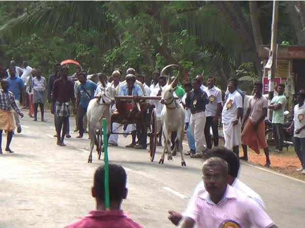 A bullock cart race was held in Kanyakumari on the eve of Republic day.
