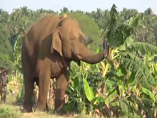 Forest Department tries to catch Chinnathambi by injecting anesthesia