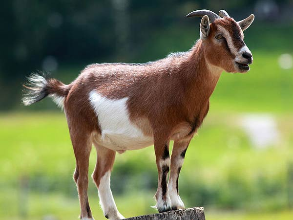 A goat elected as mayor in America