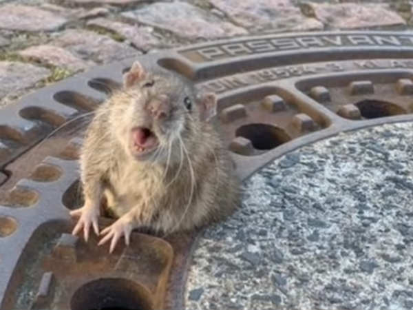 fat rat stuck in manhole cover rescued by german firefighters