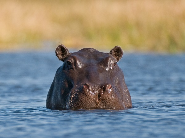 at least 28 hippopotamuses have been found in Ethiopias Gibe Sheleko National Park