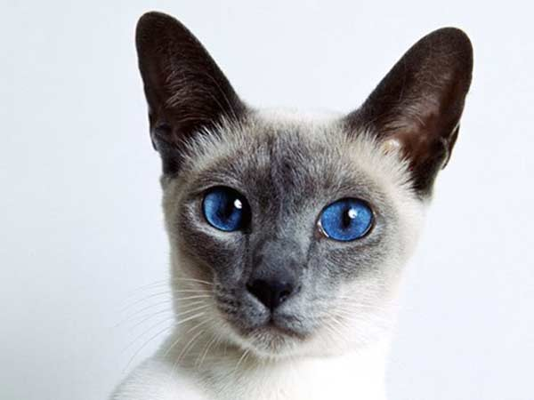 April 6: Siamese cat day today