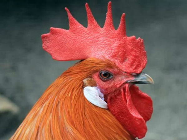 A Maharasatra lady gives complaint against Rooster