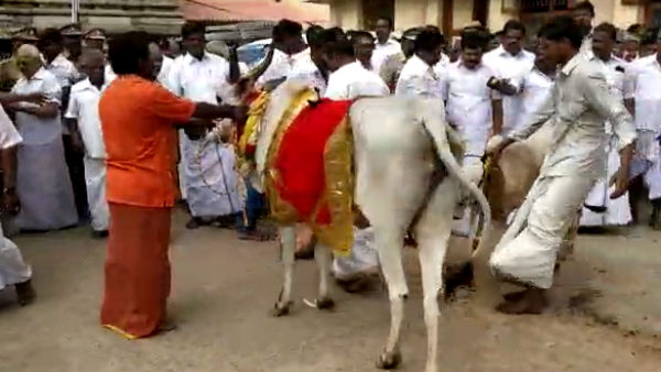 Youth was injured by Cow in a Kumbakonam Temple