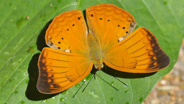 tn govt order, tamil yeoman as state butterfly of tamil nadu