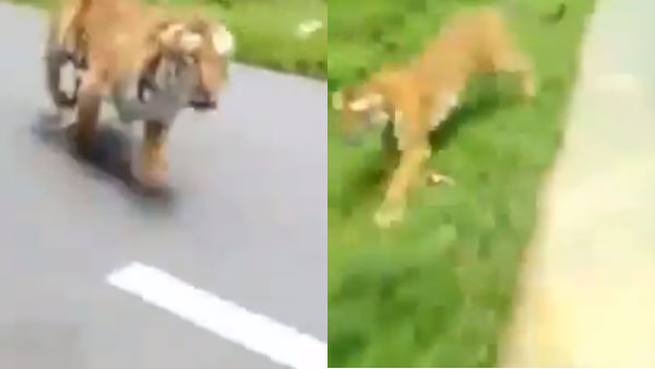 a tiger chasing a bike in Kerala goes viral