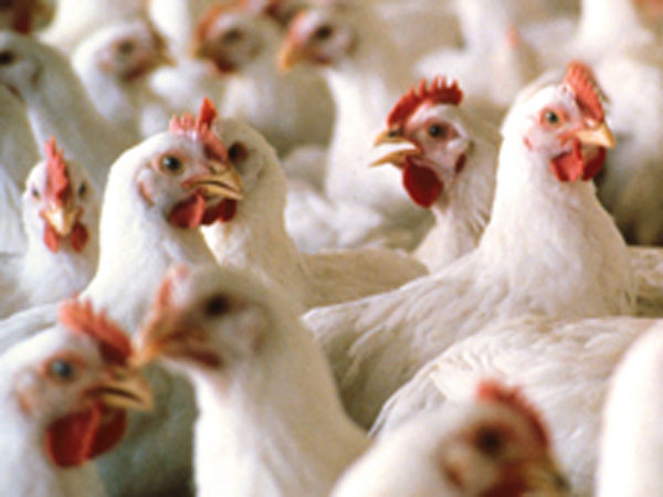 Denied free chicken neighbours go on a killing spree in Gwalior