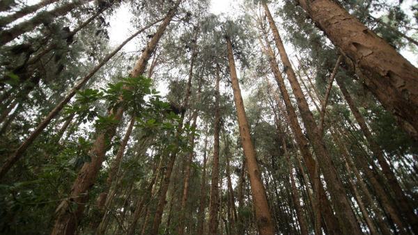 Trees cut down and kidnapped overnight in Nilgiris.. Forest activists complaint
