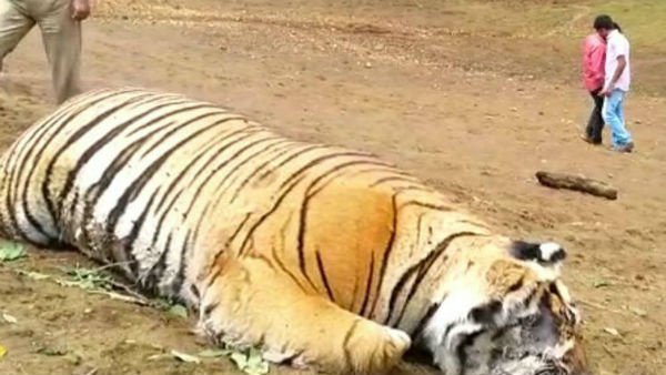 Tiger died near Ooty