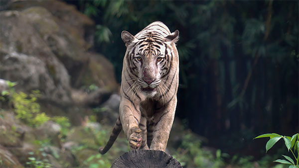 India's tiger population has doubled since 2006