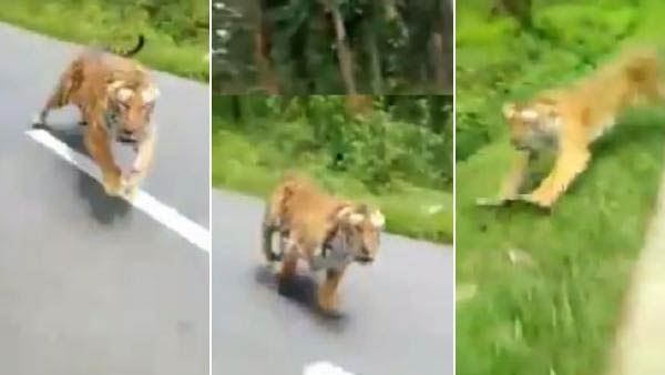 Viral Video about Tiger chasing youngsters in Nilgiri District