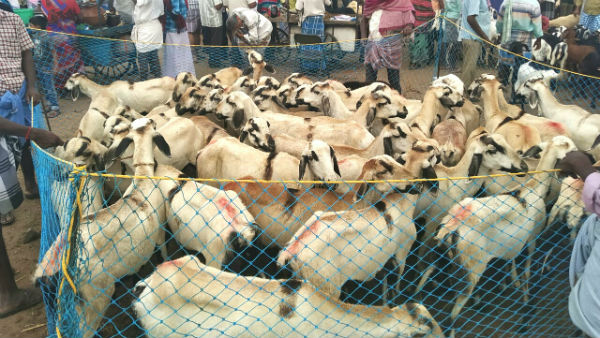 Goat sales are on rise in Trichy