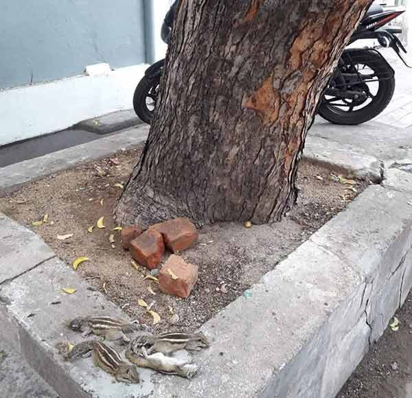 puducherry gypsies hunt squirrels in a dangerous way