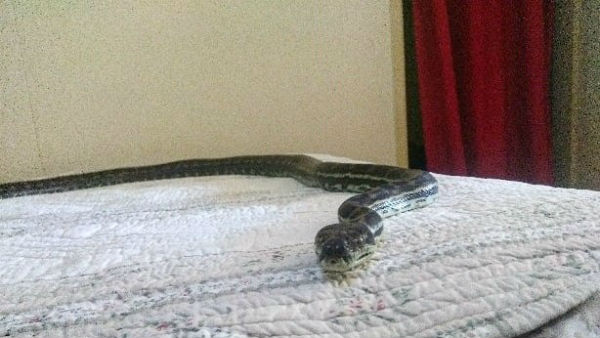 Large Python Falls Through Ceiling Light Fitting Onto Bed at australia