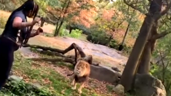 Woman climbs into New York zoo exhibit and dances in front of lion