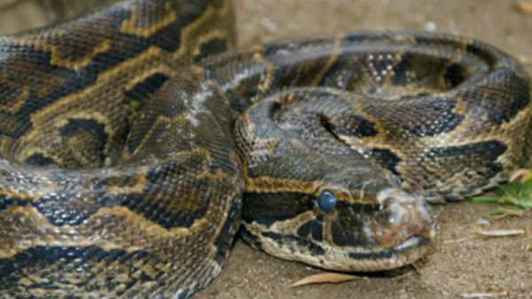 thieves steel a mans bag with four pythons