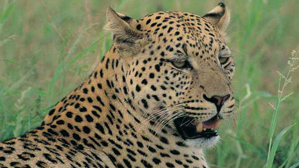 Assam : Guwahati college student killed leopard, chop off its tail