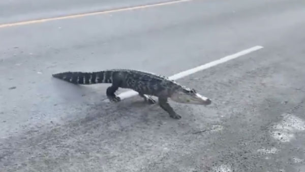 Alligator spotted in mid road