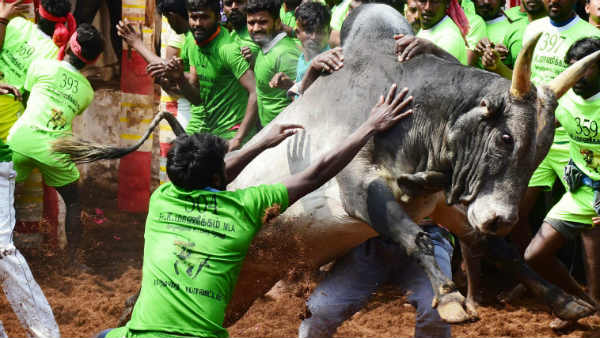 Jallikattu in Madurais Alanganallur:730 players are participating in the game
