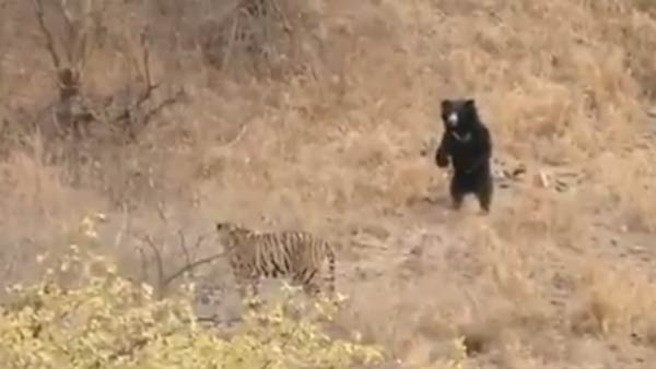 tiger fight bear video: clash between tiger and sloth bear in Rajasthan's ranthambore park