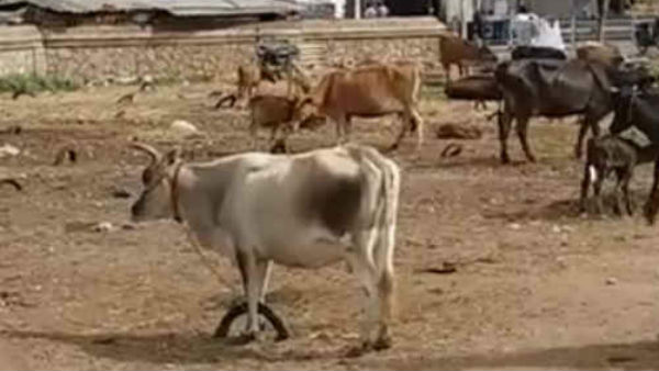 Coronavirus panic: The Manapparai cow market is hit by several crores of rupees