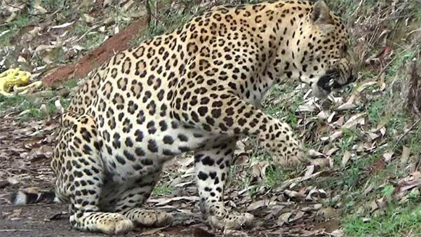 lockdown: leopard rescued safely in ooty botanical garden