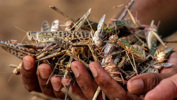 பாகிஸ்தானில் கனஜோர்- விடிய விடிய களைகட்டும் விவசாயிகளின் வெட்டுக்கிளிகள் வேட்டை- 1 கிலோ விலை ரூ20
