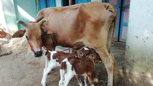 Two calves born for single cow in Kumbakonam