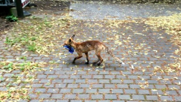 Fox steals chappals in Germany