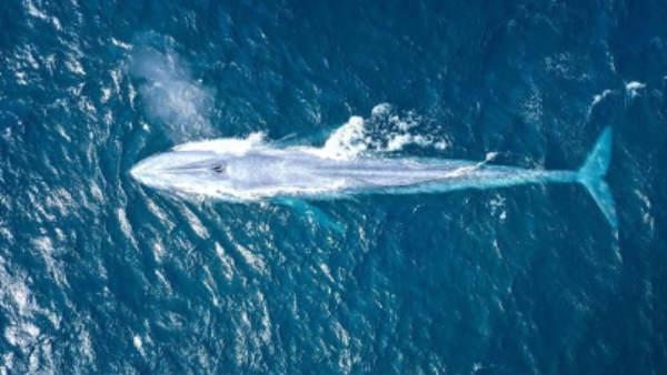 உலகின் மிகப்பெரிய விலங்கு.. 100 ஆண்டில் 3வது முறையாக காட்சி.. டக்கென கிளிக்கிய போட்டோகிராபர்!