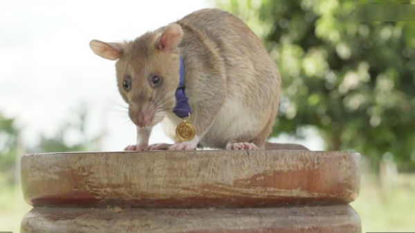 In Cambodia Rat awarded gold medal for detecting landmines
