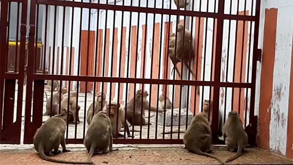 Two Herds of Monkeys quarrel each other in Kanchipuram temple