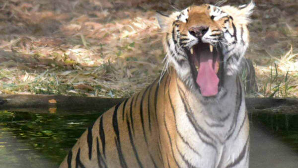 Tiger caught in trap in Maharashtra
