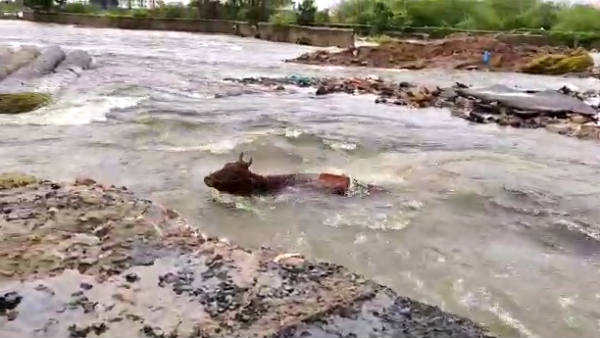 The cow that was swept away in the Adyar flood