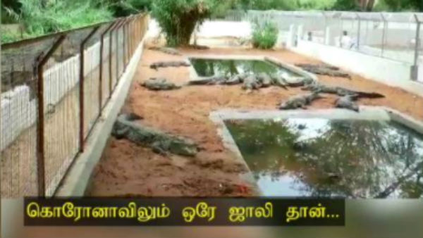 Crocodiles roam happily the crocodile farm at Udumalpet Amravati in Tirupur district