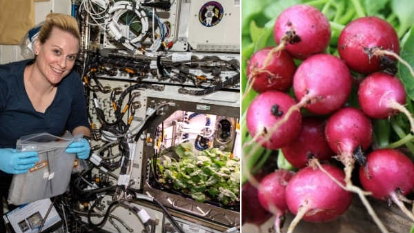 Radish Harvest at the International Space Station