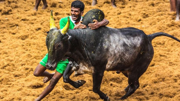 Madurai Palamedu gears up for today Jallikattu