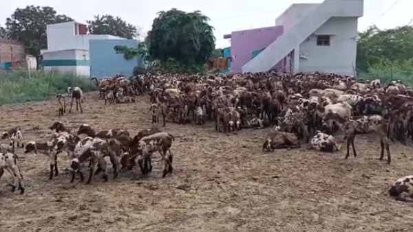 101 goats dead, after they consume Abandoned maize crop