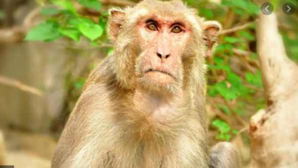 Thanjavur: Monkey Kidnap a infant baby from house one dies