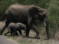 Elephants Can Smell Land Mines Scientists Find