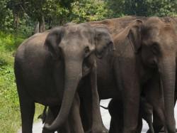 Elephants Crosses Road Traffic Jam Chennai Bangalore Road