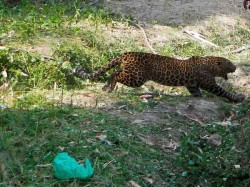 Mother Fights Off Marauding Leopard Who Tried Eat Her Two Month Old Baby