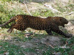People Fear About Leopard Movement