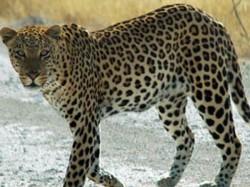 Leopard Cub Found Dead Water Tank Tn Village