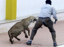 More Leopards Spotted Bangalore
