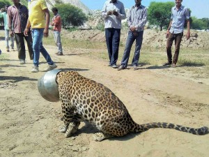 Leopard S Head Gets Stuck Utensil While Trying Drink Water