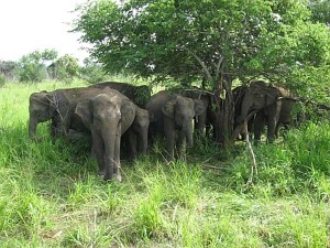 Rejuvenation Camp Elephants From Jan 7th Tn Govt